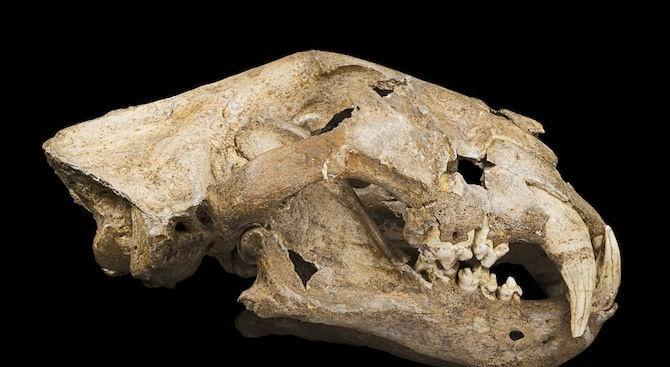 Археолози откриха череп на пещерен лъв в Русия