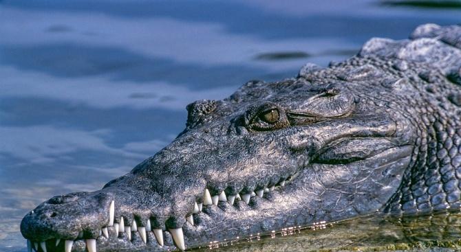Алигатор захапа жена във Флорида