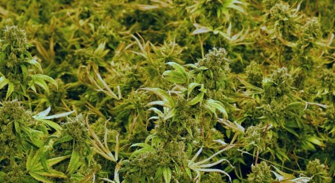 Откриха 20 кг марихуана в селски двор
