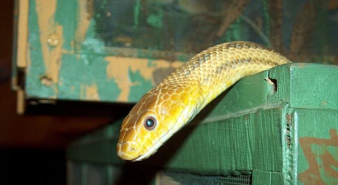 Митничари във Виена спипаха австриец с 88 змии в куфар