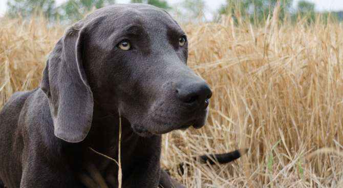 Куче-ловец на глигани осинови прасенце