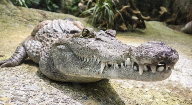 Крокодил на Фидел Кастро отхапа ръката на швед