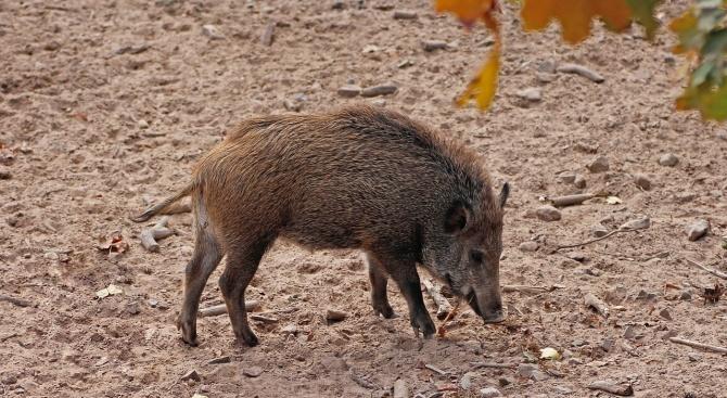 Нов случай на Африканска чума по свинете