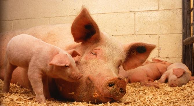 Епидемия от свинска треска в Япония, изклаха стотици свине