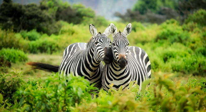 Фотограф засне зебра на точки вместо на райета
