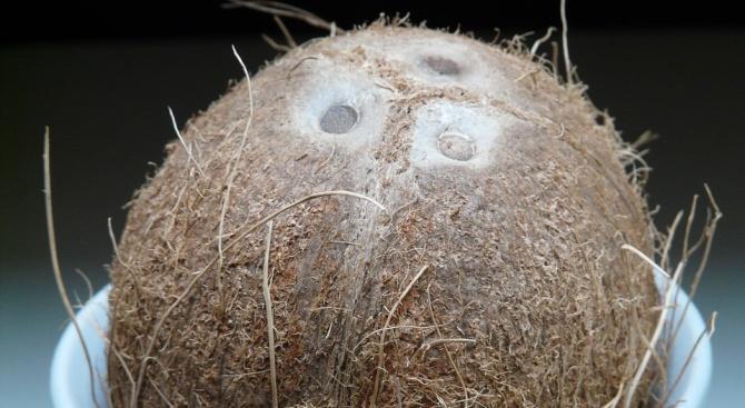 Операта в Сан Диего получи по пощата адресиран до нея кокосов орех