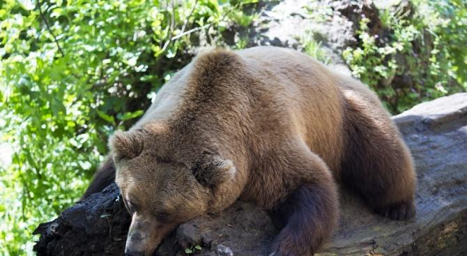 Убита е проблемна мечка в района на с. Кожари