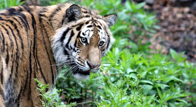 Тигър уби ловец в Русия