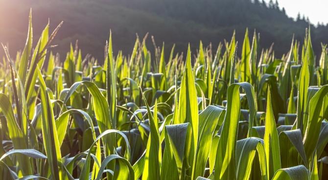 Нива с царевица е изгоряла край монтанското село Кобиляк