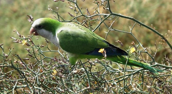 Мадрид обявява война на дългоопашатите папагали монах