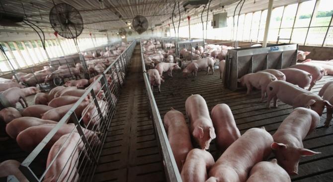 Свинекомплекси в Русенско няма откъде да зареждат нови прасета след чумата