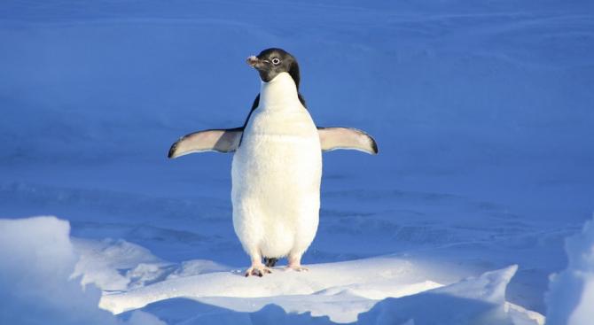 Спасиха пингвин след впечатляващо пътуване по море