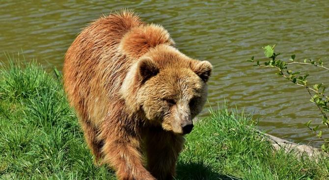 Холи грабна короната за най-дебела мечка на Аляска