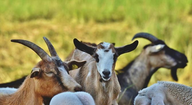 Камион блъсна стадо с кози в Благоевградско