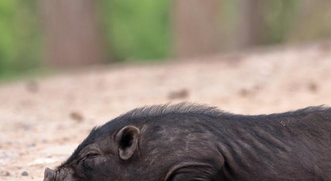 Морето край Балчик изхвърли труп на диво прасе