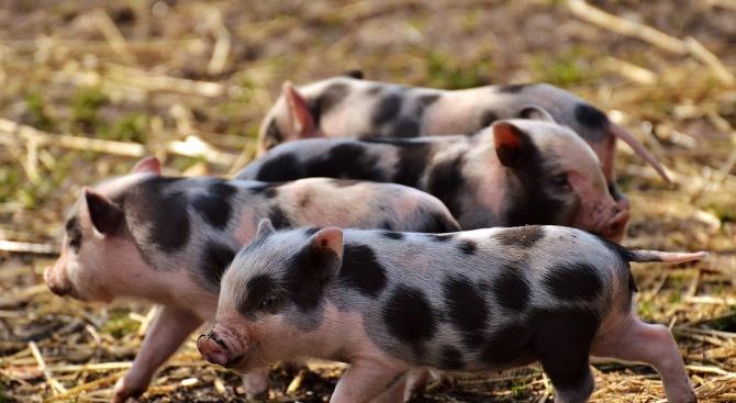 Около 98 000 прасета са хуманно умъртвени в Русенско заради АЧС