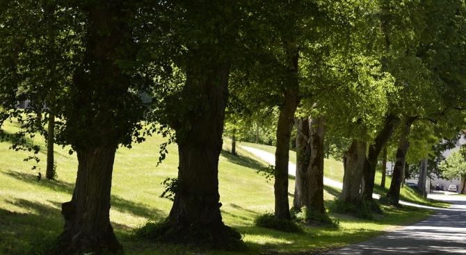 77 вековни дървета са картирани на територията на екоинспекцията в Русе