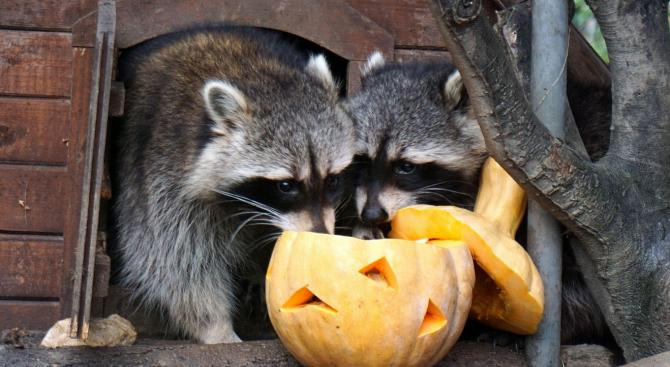 Животните във варненския зоопарк се облажиха с хелоуински тикви