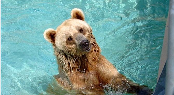Мечка си спретна нощно къпане в басейн в Сопот