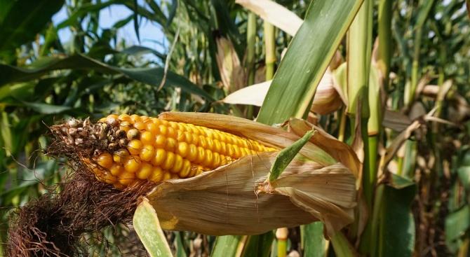 Реколтирани са 73,54 на сто от площите с царевица в Пернишко