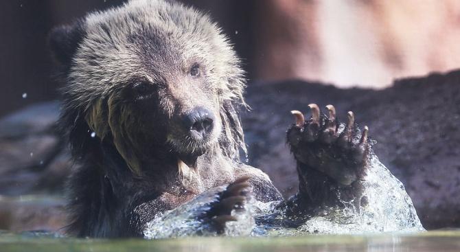 Няма основание за искане на отстрел на мечката, изкъпала се в басейн в Сопот