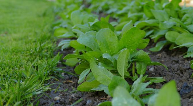 Попаднали диви треви сред листата на спанака са причнили натравянията в Турция