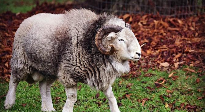 Овен уби пастир в село Черничево