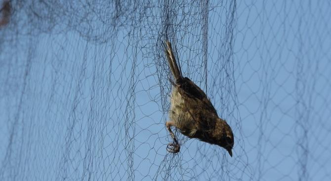 От РИОСВ - Бургас хванаха бракониер да улавя птици с мрежа