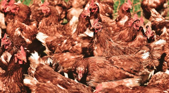 Новозеландец си купи погрешка 1000 кокошки вместо една