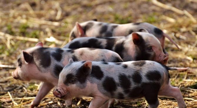 Две нови огнища на Африканска чума по свинете са открити в Поповско и Опаченско