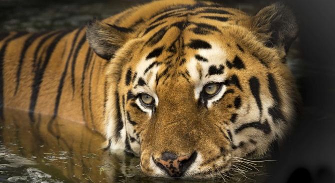 Тигър уби фермер в Индонезия