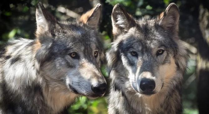 Ако срещнете мечка или вълк в гората - запазете спокойствие