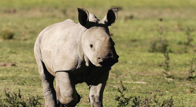 Бял носорог се роди в зоопарк в Сан Диего