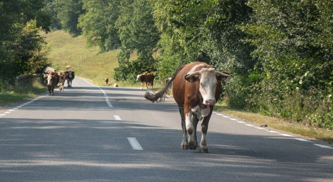 Домашни животни на пътя причиниха три катастрофи в Кърджалийско