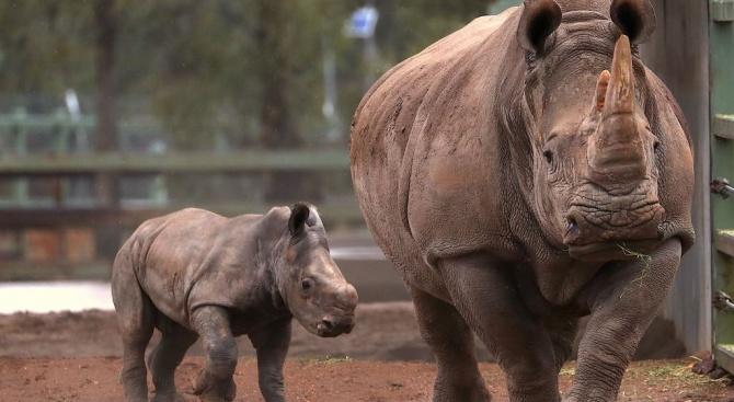 В Белгия се роди в плен бял носорог