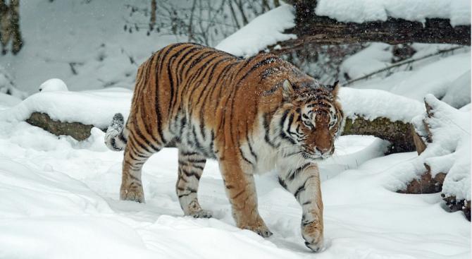 Тигър се прослави с най-дългото пътешествие
