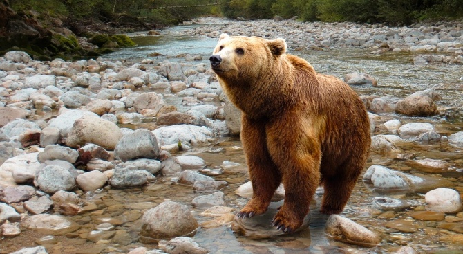 Във Витоша има все повече мечки