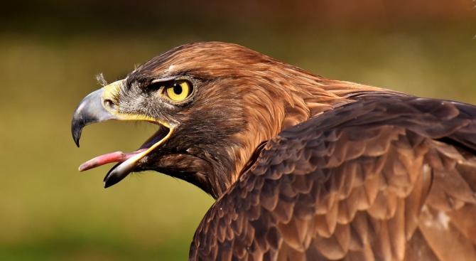 Започва реализацията на проект, свързан с малкия креслив орел
