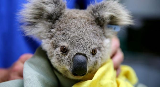 След пожарите в Австралия отделят терени за нов хабитат за коали