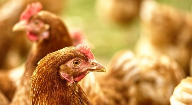 Какво представлява Нюкасълската болест по птиците?