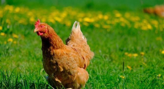 Министър Танева успокои: Нюкасълската болест по птиците не е опасна за човек