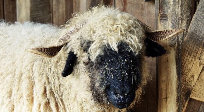 Определиха ставките по схемата за обвързано подпомагане за овце-майки и/или кози-майки