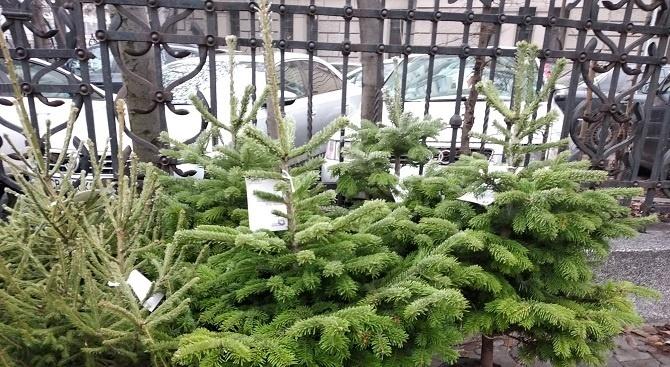 С благотворителна кауза: Горското стопанство в Пазарджик продава живи елхи в саксия
