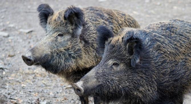 Ново огнище на африканска чума по свинете в Плевенско