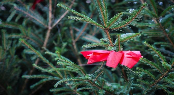 Близо 17 000 живи елхи са на пазара за празниците