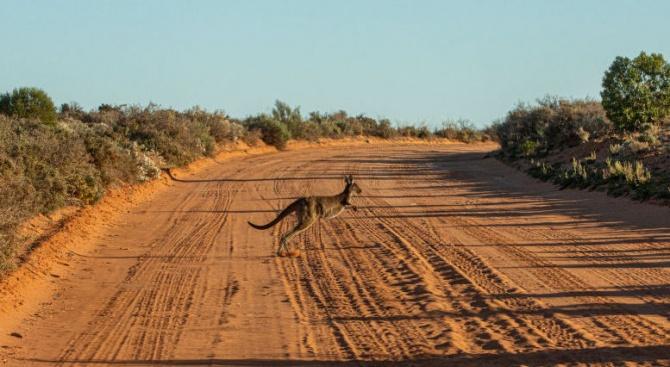 Кенгуру се разхлади в басейн от горските пожари в Австралия