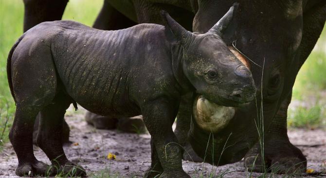 Рядък черен носорог се роди в зоопарк в САЩ