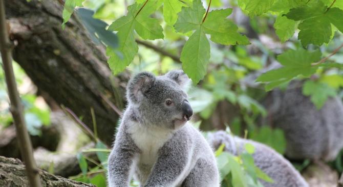 Жадна коала спря колоездачи, за да получи вода