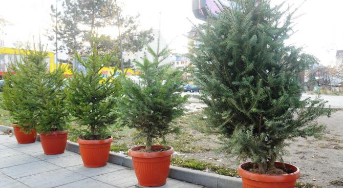 От община Добрич апелират празничните елхи да се засадят в градския парк