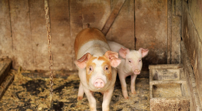 Проверяват има ли африканска чума в голям свинекомплекс в Северна България
